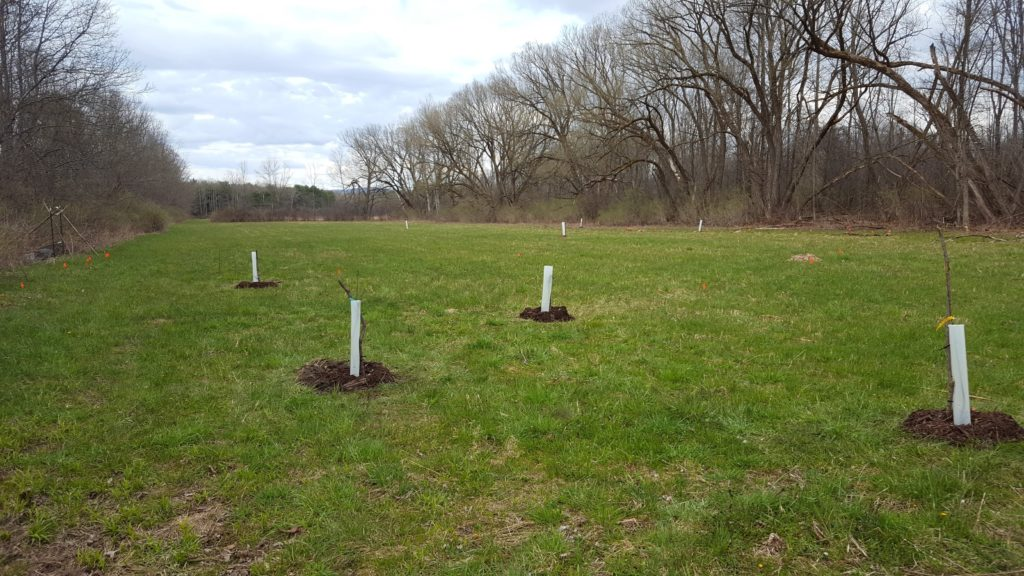 Four fruit trees in a field for reforestation