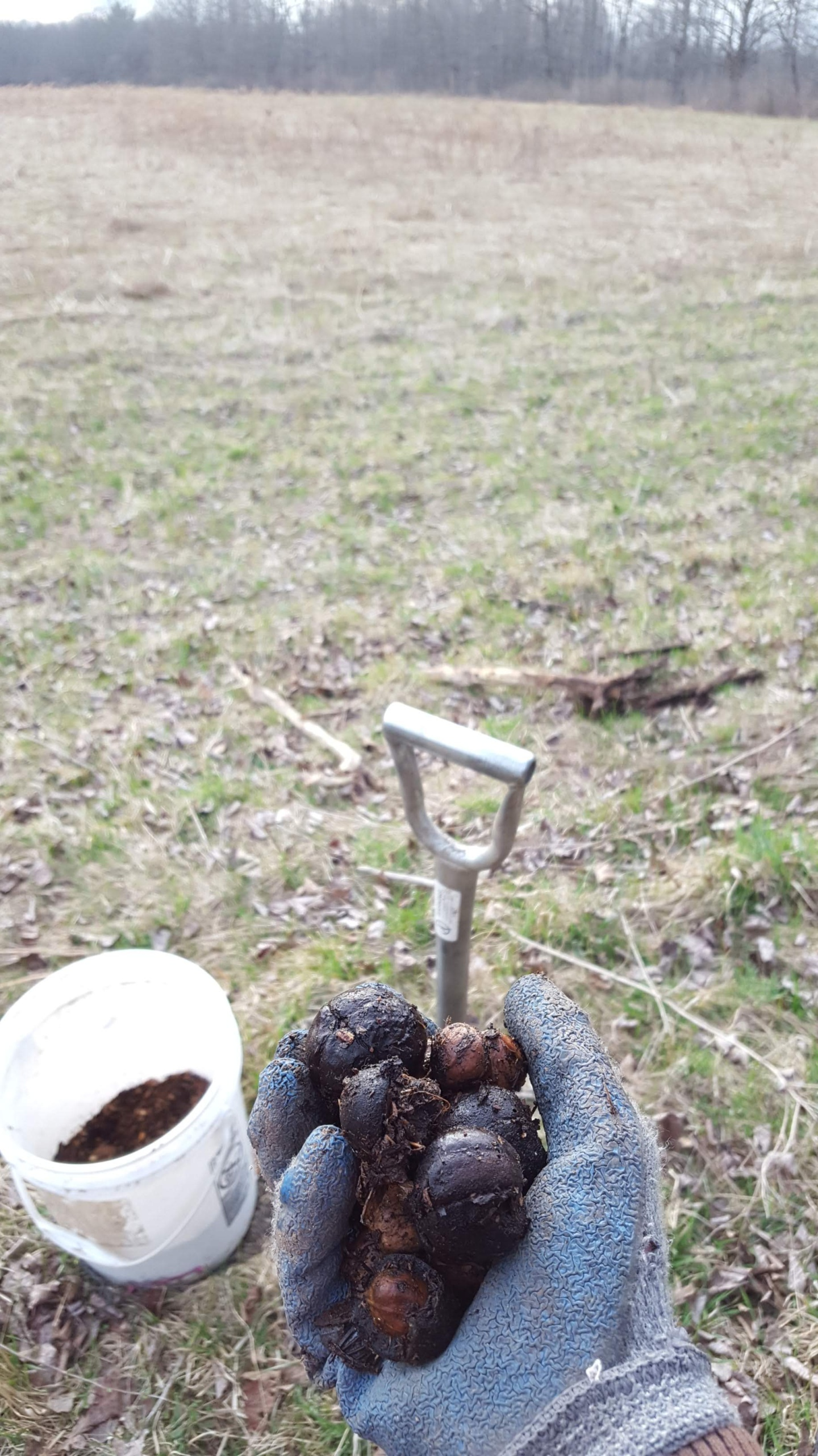 Hickories and hazels for field planting