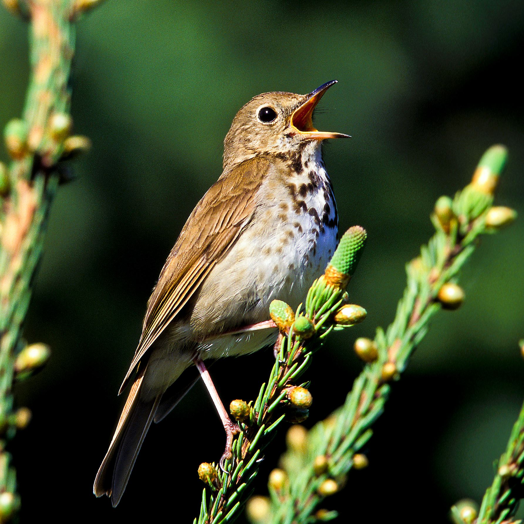 Hermit thrush image via https://www.post-gazette.com/life/my-generation/2015/05/27/Let-s-talk-about-birds-Hermit-thrush/stories/201505270028